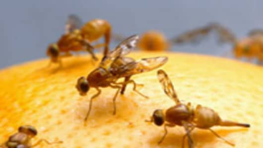 Common Fruit Fly