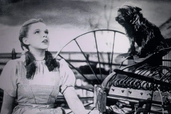 "Dogs often dominate the silver screen and primetime TV. Remember Dorothy Gale's trusty companion ""Toto"" in the 1939 film classic ""The Wizard of Oz?""  ""Toto"" was a black Cairn Terrier whose name was Terry. Terry was paid a $125 salary each week, which was far more than many of the human actors (the Singer Midgets who played the Munchkins only received $50.00 a week), according to Wikipedia.  Terry starred in 13 other films."