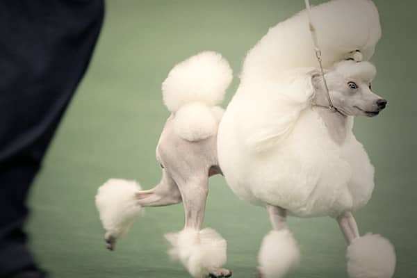 The only breed that comes in three sizes: Standard, Miniature and Toy. Poodles are known for their intelligence and come in a variey of colors.