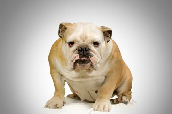 Its gentle and protective nature are what makes the Bulldog one of the most popular breeds.