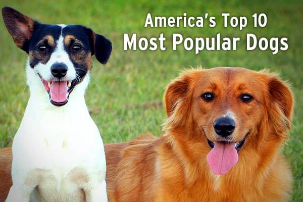 Which breeds are the most popular? Each year the American Kennel Club creates the Top 10 list based on registration statistics.Here's a look at the AKC's 10 Most Popular Dogs in the U.S. for 2008. Related content...