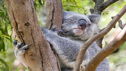 Koala in a tree.