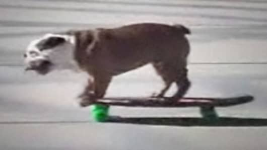 Tillman the skateboarding bulldog