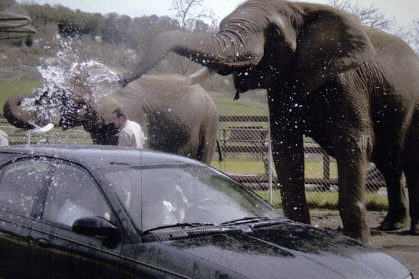 Zoos across the nation were mauled by the recession but one safari in Winston Oregon recruited some of the animals to help pitch in:  They never promised to get your car clean – elephants are smart but they're not sticklers for detail – but the $20 spent on the car wash paid for itself with the giggling coming from the backseat. At other zoos, you can watch elephants play instruments or have them paint you a painting, so don't forget – these guys (well, most of them are ladies) know how to hold