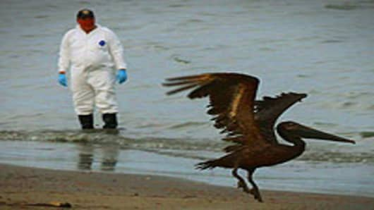 A brown pelican stained with oil takes flight while a bird rescue team tries to capture it for cleaning June 5, 2010 in Grand Isle, Louisiana.