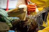 Veterinarians clean an oil covered brown pelican found off the Louisiana coast and affected by the BP Deepwater Horizon oil spill at the Fort Jackson Oiled Wildlife Rehabilitation Center.