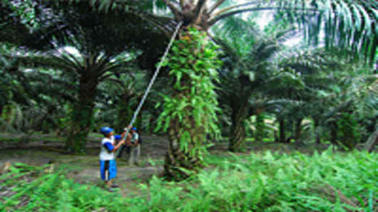 Workers harvesting oil palm fruits at an Indonesian plantation.