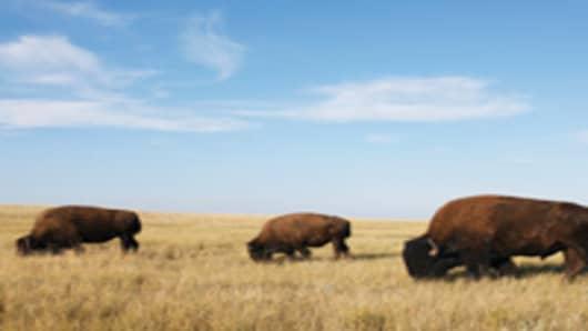 bison_herd_200.jpg