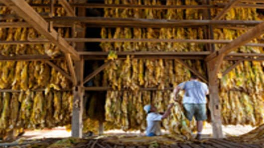 Workers hang tobacco to cure in a barn outside Lexington, Ky. They will use every inch of space available in the barn. The tobacco that doesn't fit will have to be thrown away.