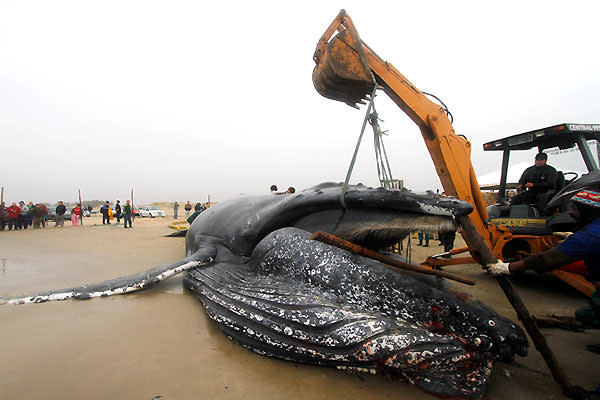 When whales wash ashore, it's a spectacle for most of us that we might see and forget about. But for someone else, it's a dirty, stinky, massive job to break it down and remove it. Plus, it can be dangerous, as a giant carcass will attract sharks.Towing the carcass out to sea isn't generally a good option, because it would likely come apart and attract more sharks and other predators, putting beachgoers at risk. When a 10-ton humpback whale recently washed ashore in Hawaii, Randy Cates of Cates