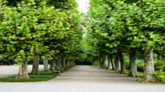 Plane tree roadside trees