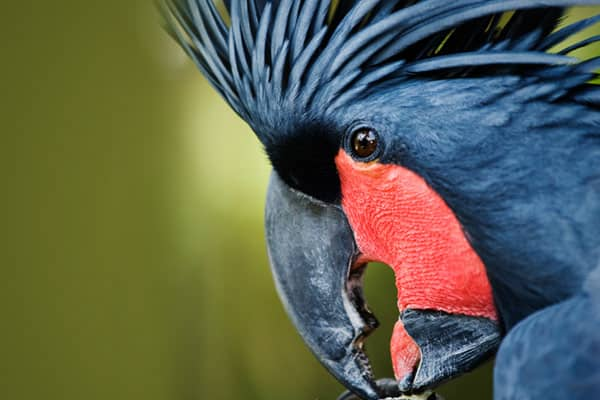 Price: $15,000—$20,000 A Goliath Palm Cockatoo can cost a bird enthusiast anywhere from $15,000 to $$20,000. Other expensive breeds include the Hyacinth Macaw Parrot and the Black Cockatoo, both of which range from $12,000 to $17,000. Jessica Hurley, a bird breeder who sells exotic breeds at , explains many of these birds are difficult to breed in captivity, hence the high price. For example, the black cockatoo can only have up to one baby per year, making for a limited supply.Color mutations ca