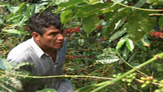 Guzman shows off his coffee trees, full of ripe berries ready for harvest.