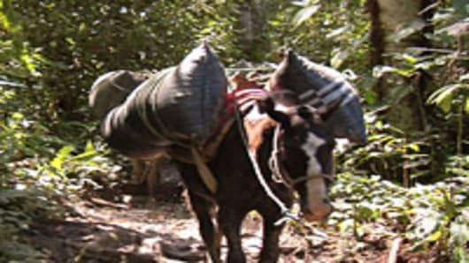 Horses make their way down the muddy track carrying 100-pound bags of coffee beans ready for sale.
