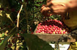 Coffee berries being picked from the trees on Guzman&#039;s coffee farm.