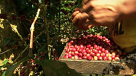 Coffee berries being picked from the trees on Guzman's coffee farm.