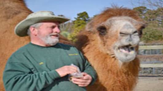 Princess, a Bactrian camel picks the Super Bowl winner.
