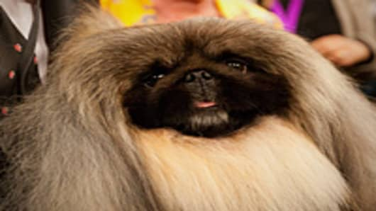 Pekingese Malachy poses for photographers after winning Best in Show at the Westminster Kennel Club Dog Show.