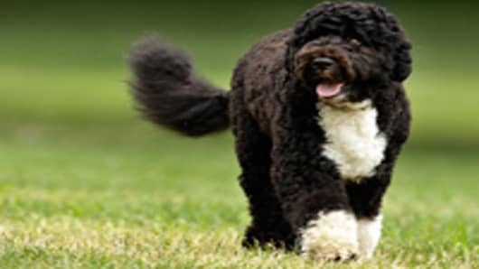 The Obama family dog, a Portuguese water dog named Bo, trots across the South Lawn.