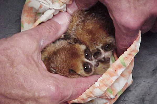 Two pygmy lorises, small protected primates from Asia whose habitat is threatened due to habitat destruction, were discovered in a pouch hidden within the trousers of a traveler at Los Angeles International Airport. Although the tiny animals survived the trip, some of the smuggler's other contraband - exotic birds of paradise - did not make it.