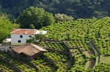Hillside Vineyard, Samos, Greece.