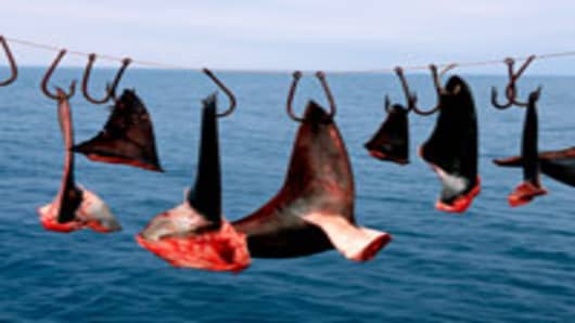 Shark finning: one of the world's most destructive fisheries. Shark fins are removed whilst the remainder of the carcass is discarded at sea, Baja California, Mexico.