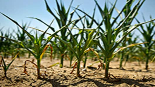Field corn plants with wilted and dying leaves stand in a dry field in Idaville, Indiana, U.S.
