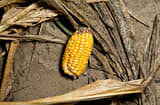 An underdeveloped ear of corn lays amongst corn plants damaged by extreme heat and drought conditions in a field