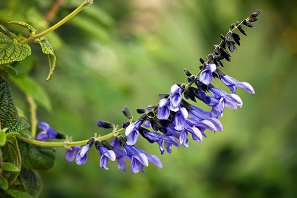 Salvia is a plant commonly referred to as sage. It has many different species and uses, such as Salvia officinalis, which is used in cooking, and Salvia sclarea, which is used perfume. Salvia divinorum has shown effectiveness in treating diarrhea and headaches, but it's best known for its hallucinogenic properties.