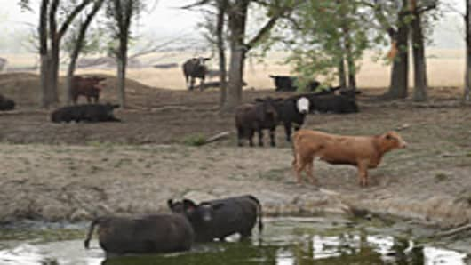 Cattle try to keep cool in the remains of a farm pond in a pasture heavily damaged by drought August 3, 2012 near Cuba, Illinois. Farmers in the Midwest and elsewhere continue to struggle after than half the counties in the United States have been designated disaster areas, mostly due to drought conditions throughout the Midwest.