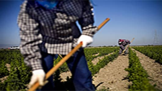 Migrant workers weed lettuce seed plants at an organic produce farm near Fresno, California.