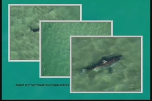 Gray Seals Come to Cape Cod, Followed by Sharks