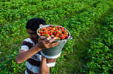 A fruit grower carries a bucket of freshly harvested strawberries on a farm in Gouso.
