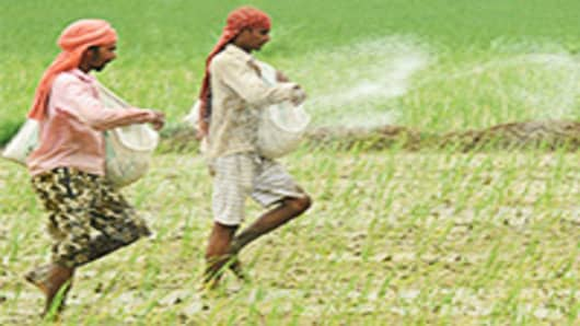 Indian farmers throw fertiliser in a paddy field in Dharmuchak village.
