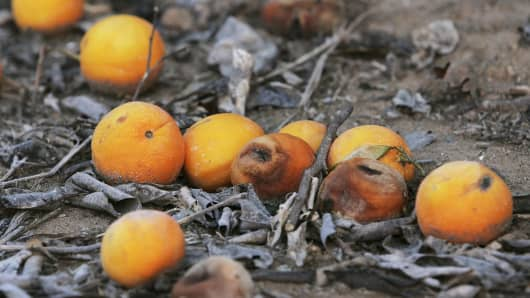 Oranges sit on the ground damaged by a severe cold snap.