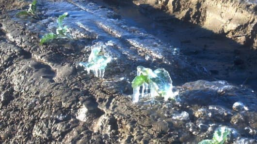 Frozen cauliflower crop in Coahella, California.
