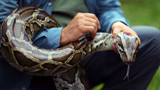 A Burmese python is held by Jeff Fobb as he speaks to the media at the registration event and press conference for the start of the 2013 Python Challenge on January 12, 2013 in Davie, Florida.
