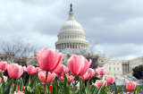 Flowers are in full bloom in front of the U.S. Capitol.