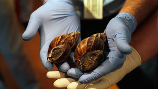 Giant African land snails are shown to the media at the Florida Department of Agriculture and Consumer Services.