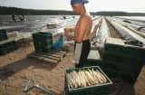 Polish migrant workers harvest asparagus in Germany