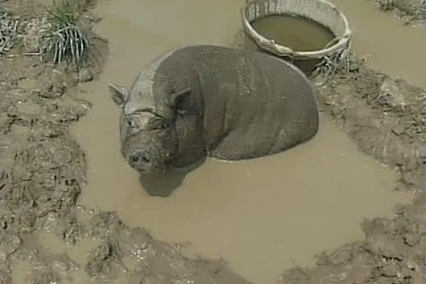 China's Pigs