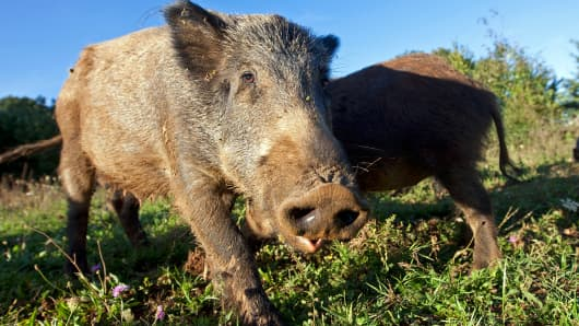 Hundreds of Radioactive Boars in Fukushima Thwart Residents' Plans to Return Home