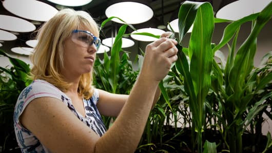A research biologist takes tissue samples from genetically modified corn plants inside a climate chamber housed in Monsanto agribusiness headquarters in St Louis.