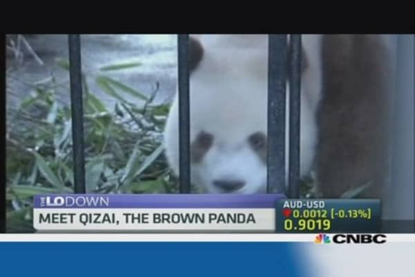 Meet Qizai, the brown panda