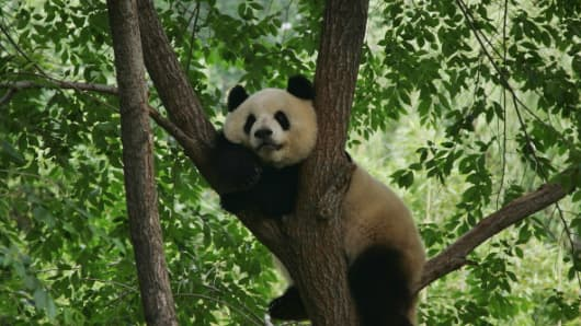 "In what is known as ""panda diplomacy"", China loans the endangered animals to countries a gesture of goodwill."