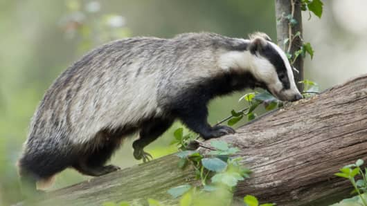 5,000 badgers are expected to be culled in a six-week U.K. trial
