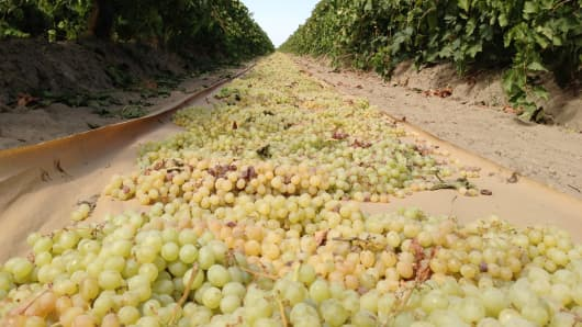 Grapes drying in the sun at Raisin Valley Farms in Kerman, Calif.