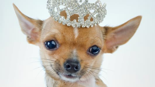 This isn't Muriel Siebert's chihuahua, although it would probably like to be.