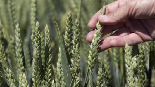 Wheat grows in a test field at Oregon State University (OSU) in Corvallis, Oregon.
