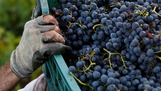 Harvesting grapes in the Ribeira Sacra region of Spain on Oct. 8, 2013.